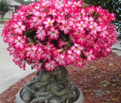 Adenium, trandafirul desertului