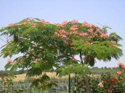 Trei arbori decorativi pentru gradinile insorite