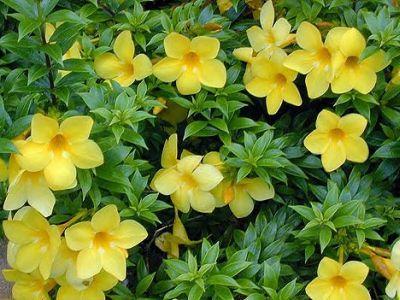 Allamanda - cultivare si ingrijire