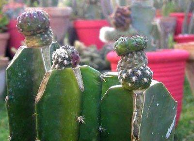 Altoirea cactusilor si plantelor suculente
