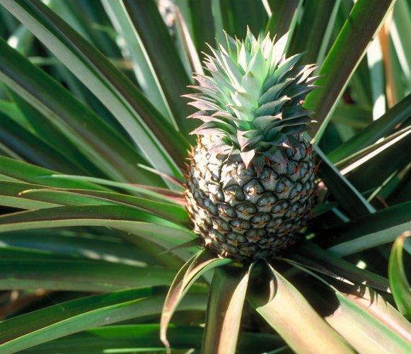 Cum ingrijesti ananasul