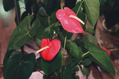 Anthurium, floarea flamingo