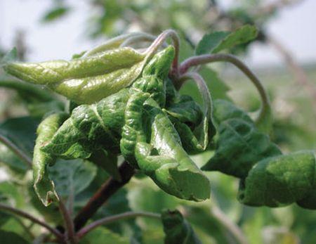 Daunatori ai plantelor - purecii de frunze