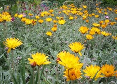 Plante de gradina: Arctotis infloreste toata vara