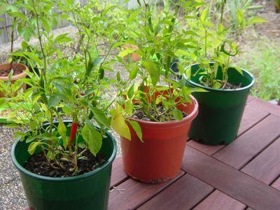 Cultivarea ardeiului in gradina si in ghivece