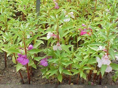Flori de vara: balsaminele