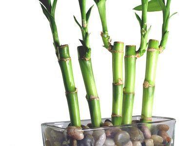 Cele mai des intalnite probleme la bambusul norocos