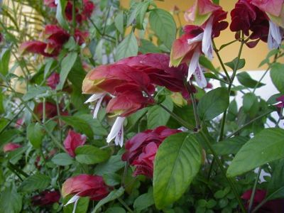 Beloperone, cultivare si ingrijre