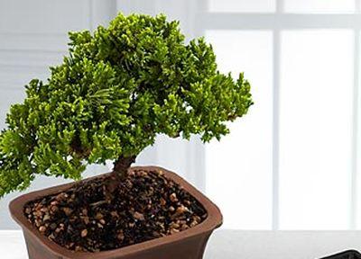 Cum iau nastere bonsaii