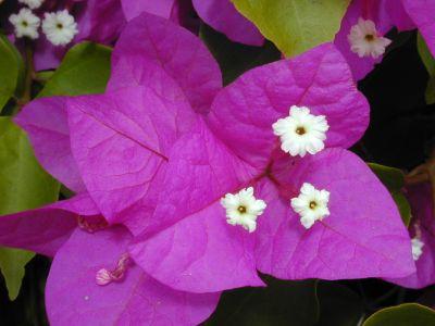 Sfaturi si trucuri pentru o bougainvillea frumoasa