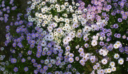 Brachycome, covoare florale in gradina