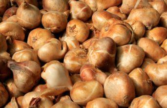 Inmultirea plantelor ornamentale prin bulbi, tuberobulbi si tuberculi