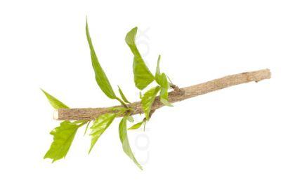 Inmultirea plantelor: butasirea in verde