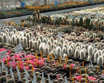 Cactusii, cei mai exotici prieteni