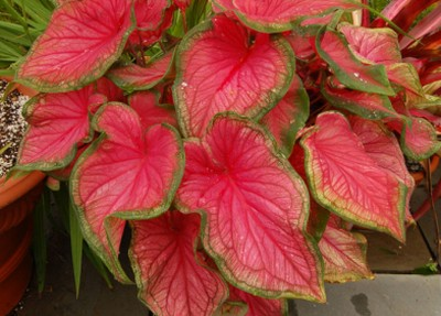 Caladium, planta cu frunze viu colorate