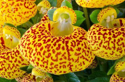 Poseta Doamnei (Calceolaria)