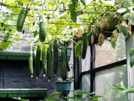 Cultivarea castravetilor in gradina sau ghiveci