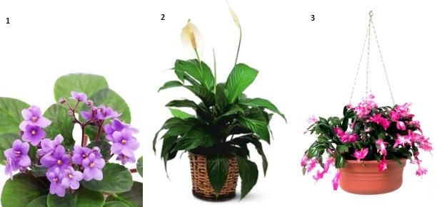 Cele mai usor de ingrijit plante de apartament cu flori
