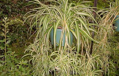 Chlorophytum, crinul verde sau voalul miresei