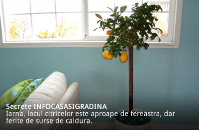 Ingrijirea citricelor in apartament