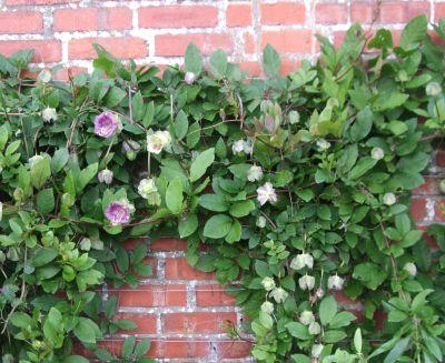 Plante agatatoare - cobaea