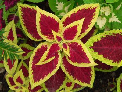 Urzicuta, ornamentala prin frunze