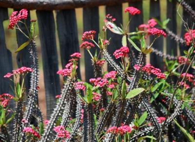 Euphorbia, coroana de spini
