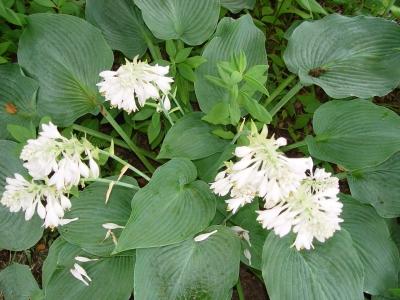 Plante care infloresc toamna: Hosta, crinul de toamna