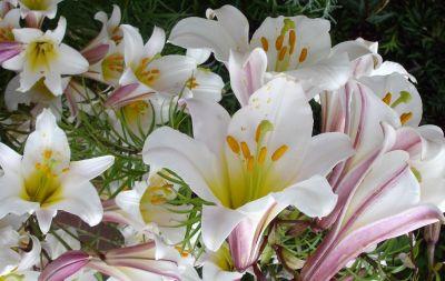 Crinul regal (Lilium regale)