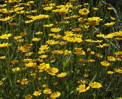 Specii anuale de crizanteme