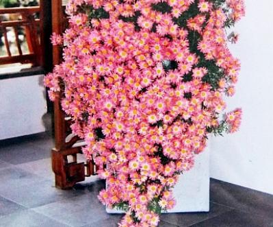 Cultura dirijata crizantemelor in cascada, pentru un efect spectaculos