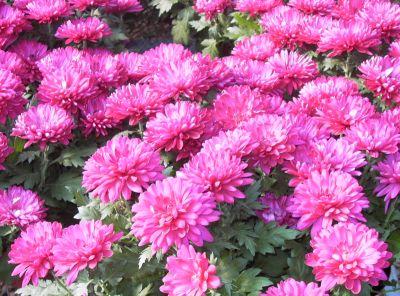 Cultivarea crizantemelor in gradina