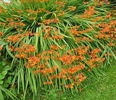 Plante care infloresc vara: Crocosmia