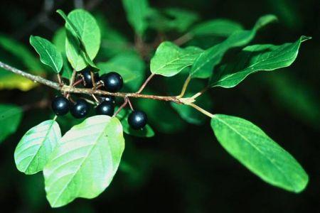 Crusinul, planta cu proprietati purgative