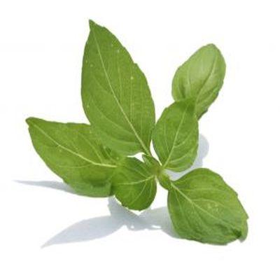 Plante aromatice: cum se cultiva busuiocul
