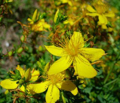 Afaceri din cultivarea plantelor medicinale: sunatoarea