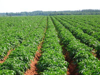 Metode ecologice de combatere a bolilor si daunatorilor cartofului