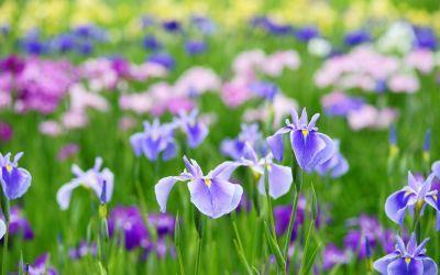 Divizarea rizomilor de iris