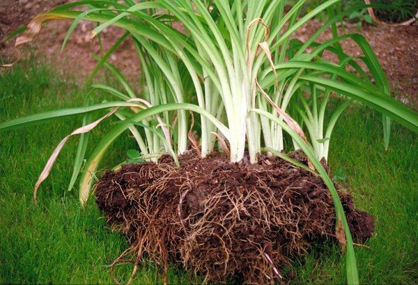 Divizarea plantelor perene se face primavara