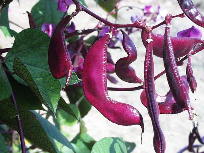 Plante agatatoare - fasolea japoneza