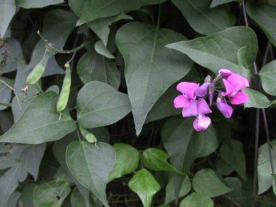 Dolichos, o planta agatatoare potrivita pentru constructii verzi