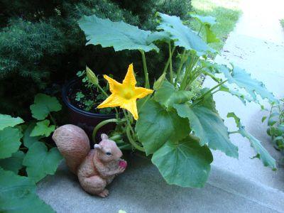 Cultivarea dovleacului in gradina sau in ghiveci