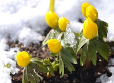Ghiocelul galben - cum se cultiva si cum arata