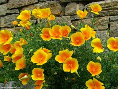 Eschscholtzia, tufe cu flori intens colorate