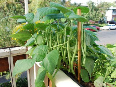 Ridichea, sfecla si fasolea sunt usor de cultivat si in jardiniere