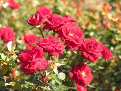 Fertilizarea trandafirilor