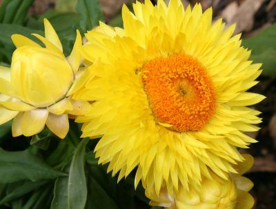 Flori galbene de Xerochrysum bracteatum