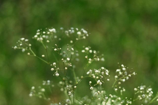 Floarea miresei