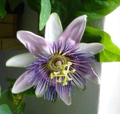 Cum se ingrijeste floarea pasiunii