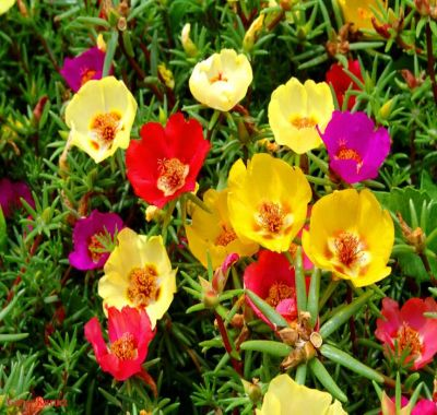 Florile de piatra - covor multicolor in gradina ta
